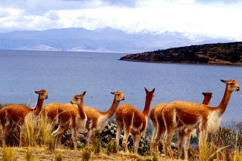 peru-titicaca-llama.jpg